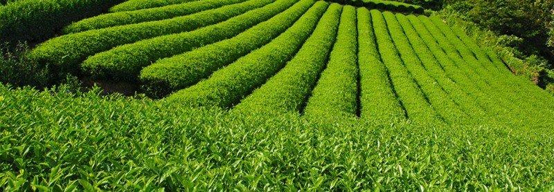 media/image/Sencha-Plantage.jpg