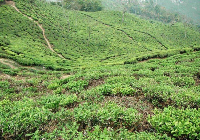 media/image/Teefelder-Darjeeling.jpg