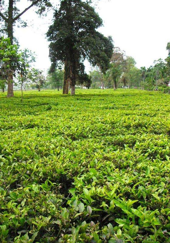 media/image/Assam-FeldIe8fQRTjubG8MQtB3sRm02bqUe.jpg