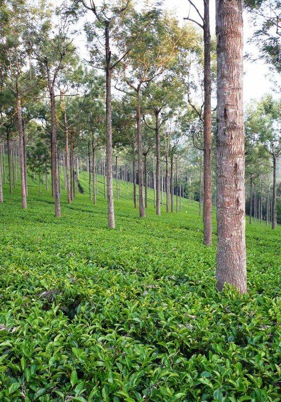 media/image/Assam-TreesmMRq4bVtP4wWljKcOTLxDPhpN9.jpg